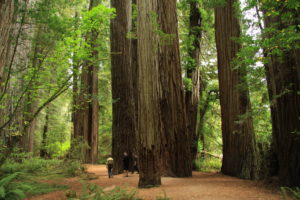 Pacific Redwoods_State_Park_in_2011_(22)